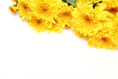 Chrysanthemum in a white background Stock Photos