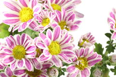 Chrysanthemum in a white background Stock Images