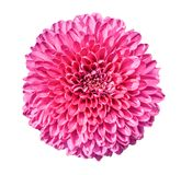 Chrysanthemum on white background. Royalty Free Stock Image