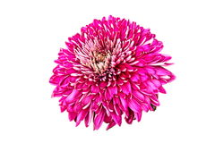 Chrysanthemum on white background. Stock Photo