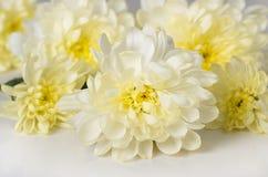 Chrysanthemum. White chrysanthemums on a white background Stock Photos