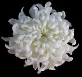 Chrysanthemum white  flower  isolated  with clipping path on a black  background. Beautiful chrysanthemum light yellow center. For Royalty Free Stock Image