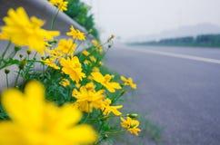 Chrysanthemum. Wild chrysanthemum blooming at high speed Royalty Free Stock Photography