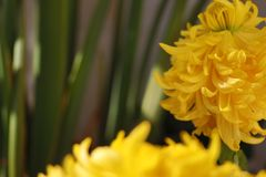 Chrysanthemum that will wither stock photo