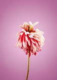 Chrysanthemum withered flower Royalty Free Stock Image