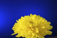 Chrysanthemum, Yellow Royalty Free Stock Images