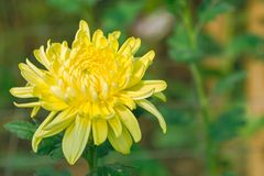 Chrysanthemum. A yellow chrysanthemum flower blooming, Blurred green leaf background stock photography
