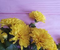 Chrysanthemum yellow flower on pink wooden frame background. Natural border Stock Photography
