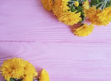 Chrysanthemum yellow flower celebration on pink wooden frame background. Chrysanthemum yellow flower on pink wooden frame background natural border celebration royalty free stock photos
