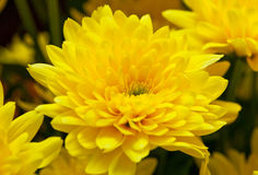 Chrysanthemum yellow Royalty Free Stock Photos