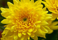 Chrysanthemum yellow Stock Photos