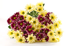 Chrysanthemum yellow and maroon Stock Photography