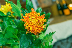 Chrysanthemum yellow orange screwed. Chrysanthemum yellow and orange screwed Royalty Free Stock Photo