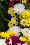 Chrysanthemum yellow Royalty Free Stock Photography