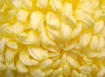 Chrysanthemum1 Stock Foto