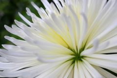 Chrysanthemum2 Royalty-vrije Stock Fotografie