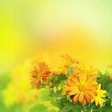 Blom- bakgrund för Chrysanthemum royaltyfri foto