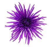 chrysanthemumblomma Royaltyfri Bild