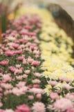 Chrysanthemumblommaträdgård, Thailand arkivbilder