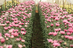 Chrysanthemumblommaträdgård, Thailand royaltyfria foton
