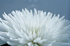 chrysanthemumblommawhite Fotografering för Bildbyråer