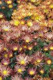 chrysanthemumblommor Royaltyfri Foto