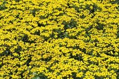 chrysanthemumblommor Royaltyfri Bild