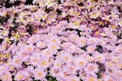 chrysanthemumblommor Royaltyfri Fotografi