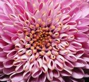 chrysanthemumblommor Arkivbild