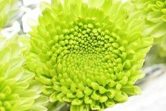 chrysanthemumblommor Arkivbilder