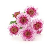 chrysanthemumblommor Royaltyfria Bilder