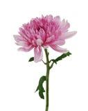 chrysanthemumblommor Royaltyfria Foton