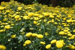 chrysanthemumblommor Arkivfoto