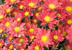 chrysanthemumbrandred arkivbilder
