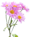 Chrysanthemumbukett Arkivfoto