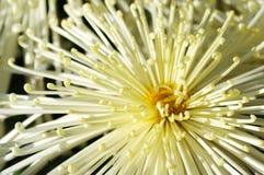 chrysanthemumcloseup Arkivbild
