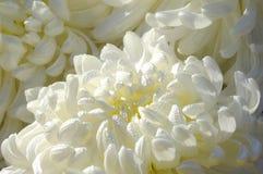 chrysanthemumcloseupwhite Royaltyfria Bilder