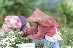 Chrysanthemumdaisies Stockfoto