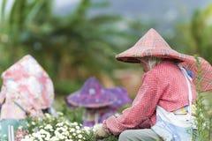 Chrysanthemumdaisies Stockbild