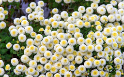 Chrysanthemumdaisies Stock Image