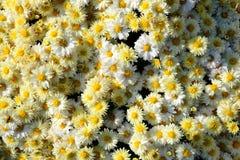 Chrysanthemumen blommar bakgrund Arkivbilder