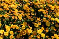 Chrysanthemumen blommar bakgrund Royaltyfri Foto