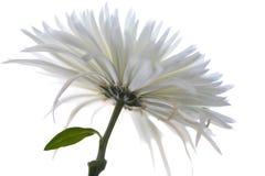 chrysanthemumen blommar makro Royaltyfri Fotografi