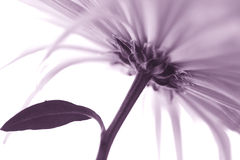 chrysanthemumen blommar makro arkivfoton
