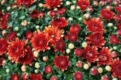 chrysanthemumen blommar orange red Arkivbilder