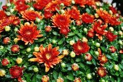 chrysanthemumen blommar orange red Arkivbild