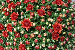 chrysanthemumen blommar orange red Royaltyfri Fotografi