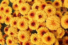 chrysanthemumen blommar orangen Royaltyfri Fotografi