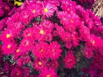 chrysanthemumen blommar pink Arkivbild