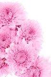 chrysanthemumen blommar pink Fotografering för Bildbyråer